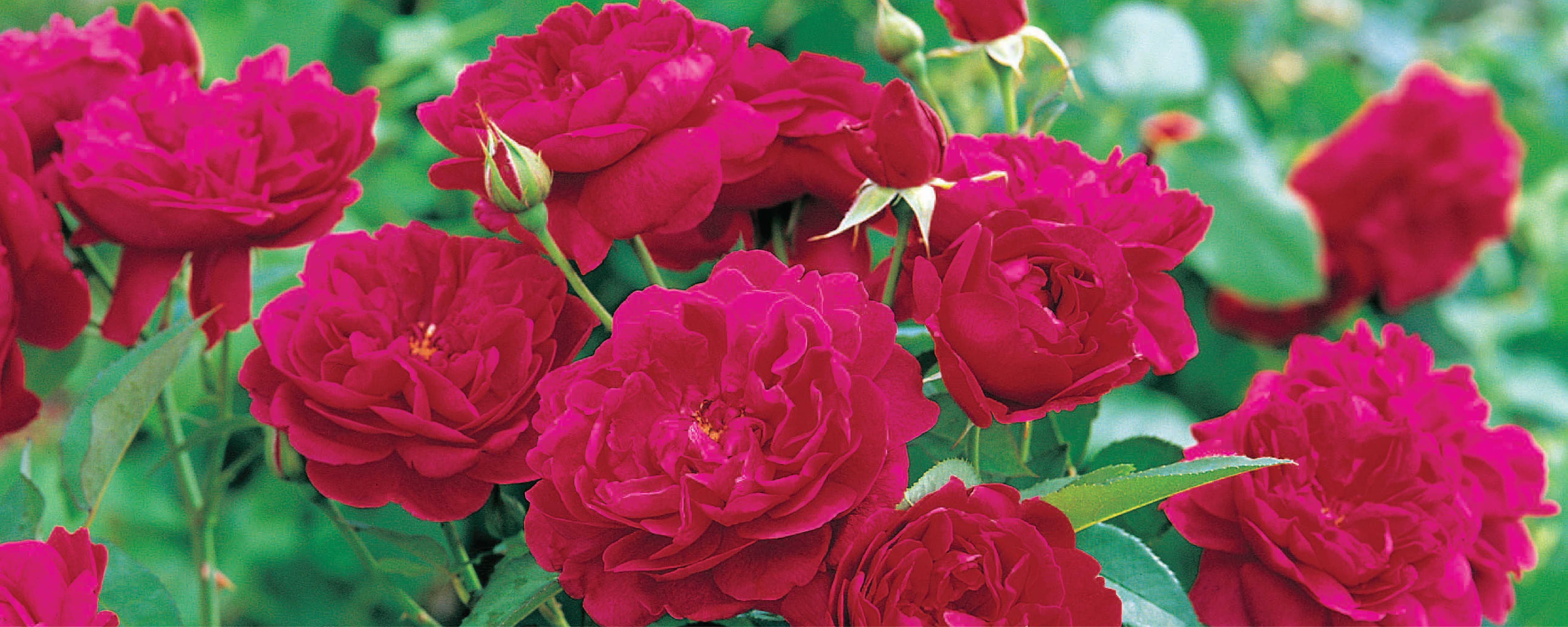 Get Your Roses Ready for an Autumn Blooming
