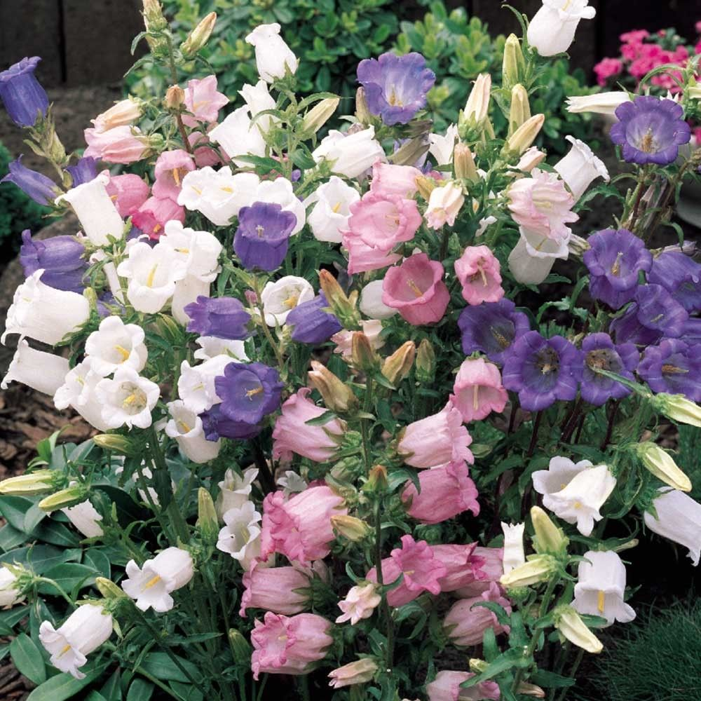 A Popular Medium Height Perennial Producing Colourful Bell Shaped