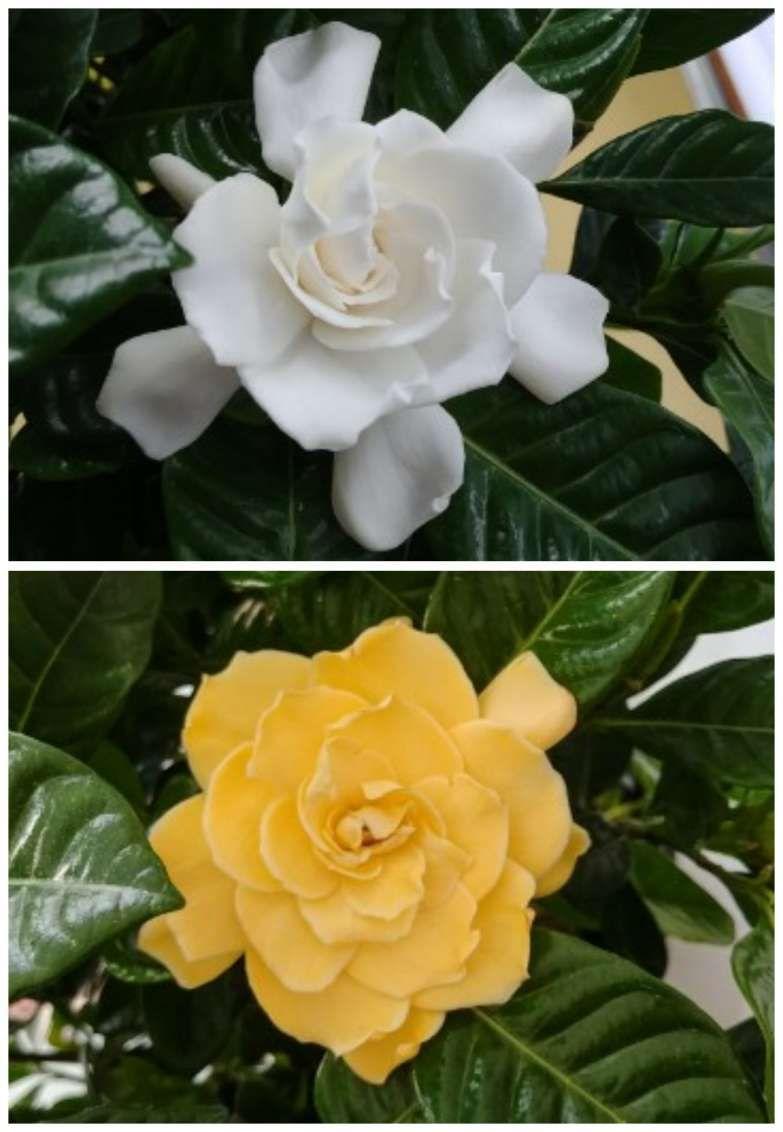 12 Wonderful Golden Magic Gardenia Collection Garden Flower Gardenflowery Com In 2020 Gardenia Plant Fragrant Flowers Gardenia