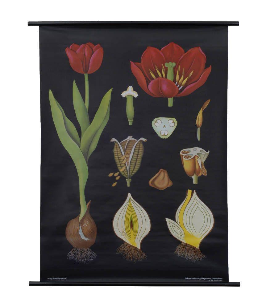 tulip botanical poster botanical posters tulip and evolution tulip botanical poster the evolution store 198 00 domino com