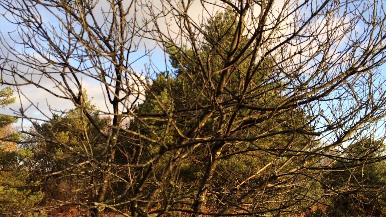 Alder Buckthorn (Frangula alnus) - shrub - November 2017 | Exeter ...