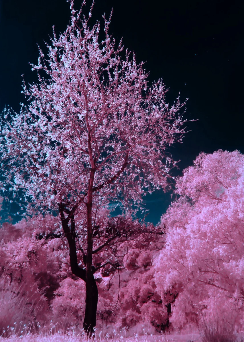 Midnight Cherry Blossoms Nature Poster Print Metal Posters Displate Cherry Blossom Tree Blossom Trees Cherry Blossom