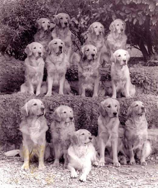 Golden retriever breed lines