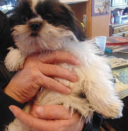 Shih Tzu Puppy Pet Dog Puppies For Sale In Altamont Ny A00017 Want Ad Digest Classified Ads Pet Dogs Puppies Shih Tzu Puppy Pets