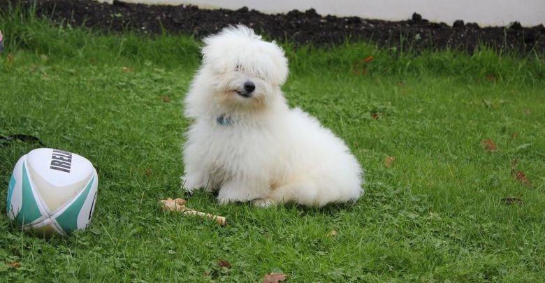 كلاب لولو معلومات عن كلاب لولو بالصور والفيديو