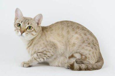 Australian Mist Cat Cat Breeds Australian Mist Spotted Cat
