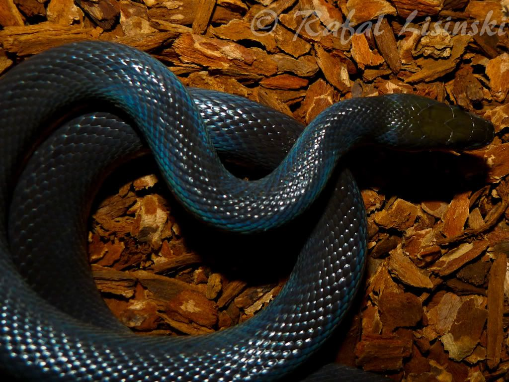 Silver Shadow Queen Nephthys Part 2 African House Reptile Breeder Snake Turtle