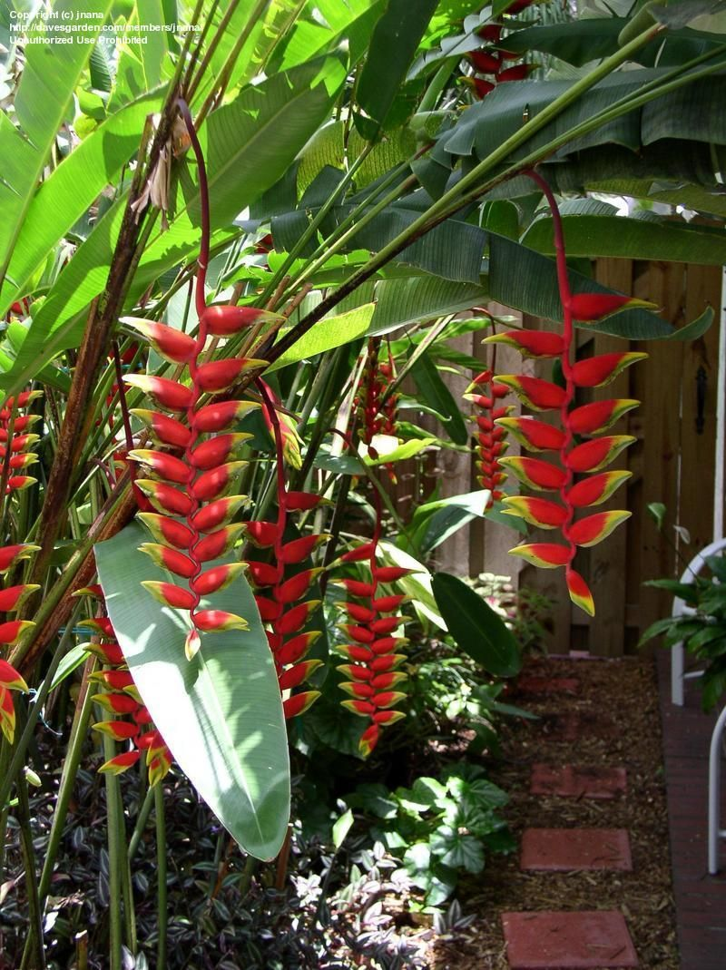 Full Size Picture Of Crab Claws Hanging Lobster Claw Heliconia Rostrata Heliconia Flower Heliconia Plants