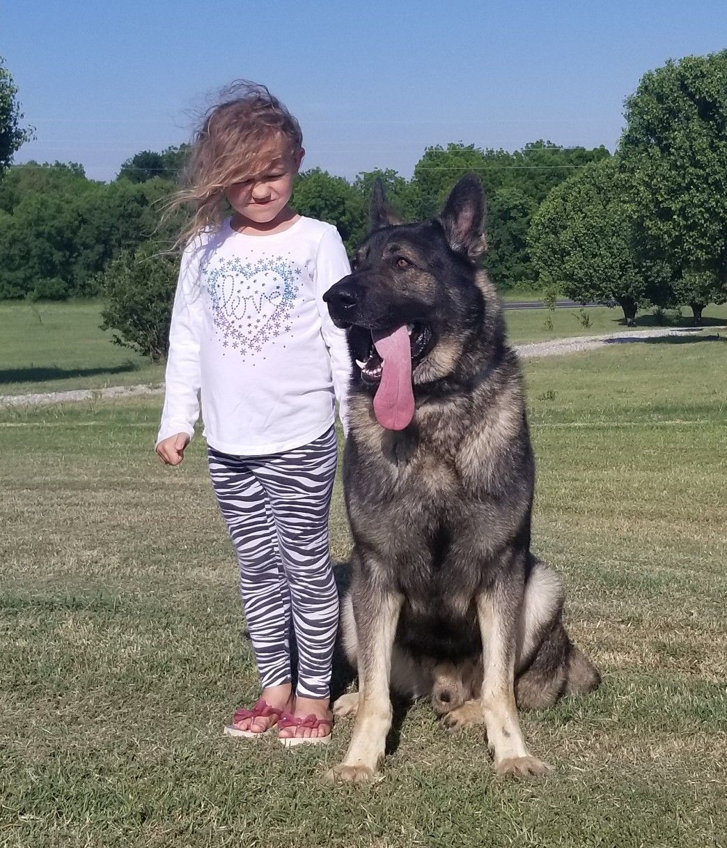 X Large German Shepherds for sale