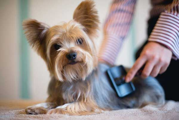 How to groom a Yorkie at home Yorkies Pinterest