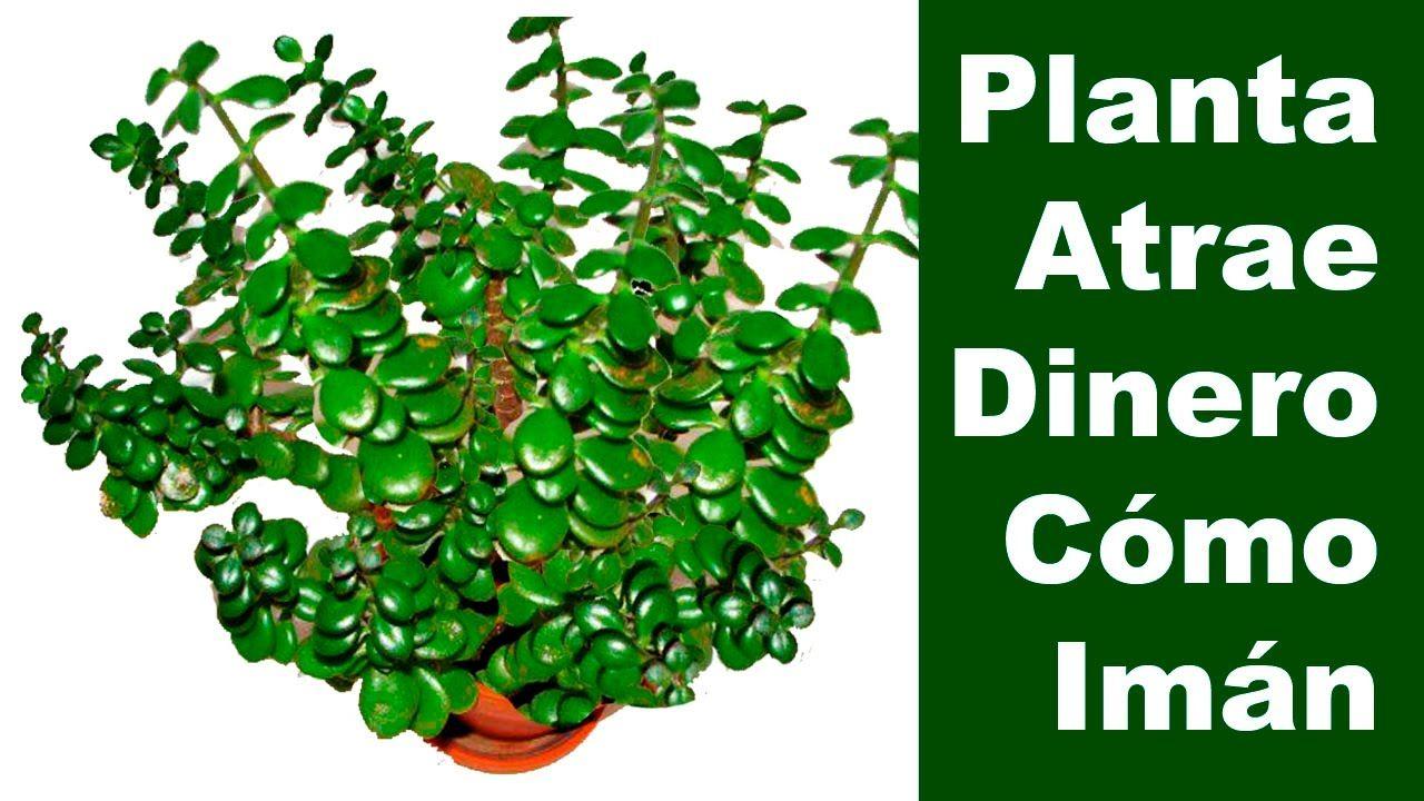 La presencia de esta planta en tu hogar atrae dinero como - Como atraer dinero y buena suerte ...