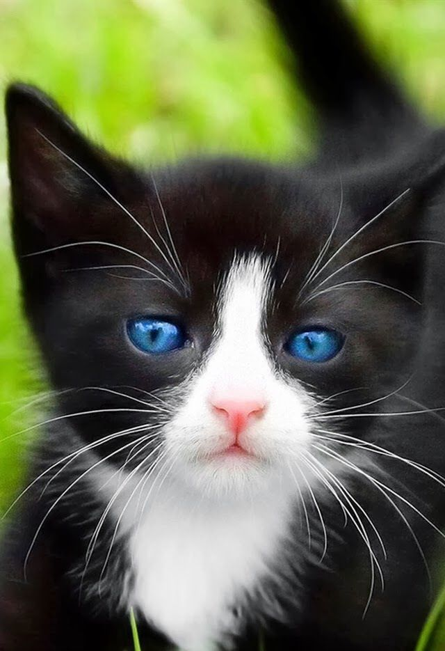 Blue Eyed Cat Beautiful Cats Black And White Kittens Kittens