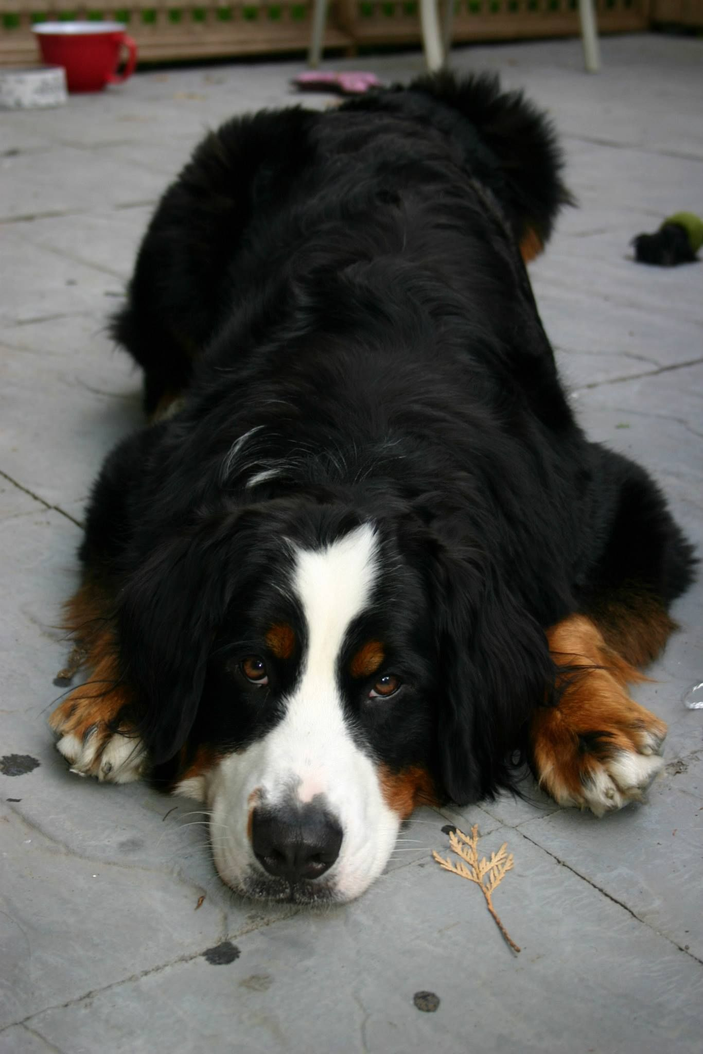 Miley, Bernese Mountain Dog, now full grown  weighing 95 lbs!!