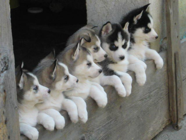 Ok Who Said Food Cute Puppies Puppies Husky Puppy