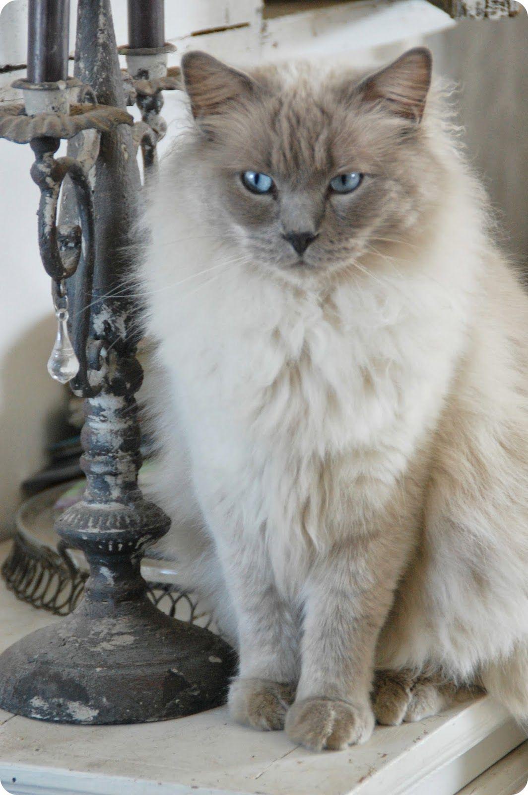 Toves Sammensurium Ragdoll Cat Pretty Cats