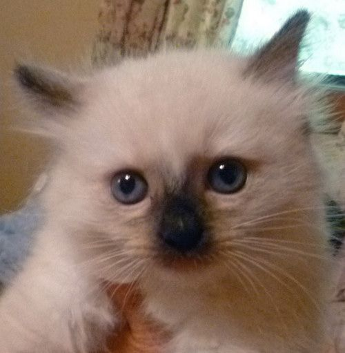 Chamidolls Ragdoll Cattery Previous Ragdolls Alabama Ragdoll Cats Ragdoll Cat Ragdoll Cattery Cute Animal Pictures