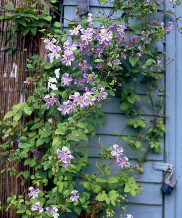 invest in compact clematis that are smothered in blooms. Black Bedroom Furniture Sets. Home Design Ideas