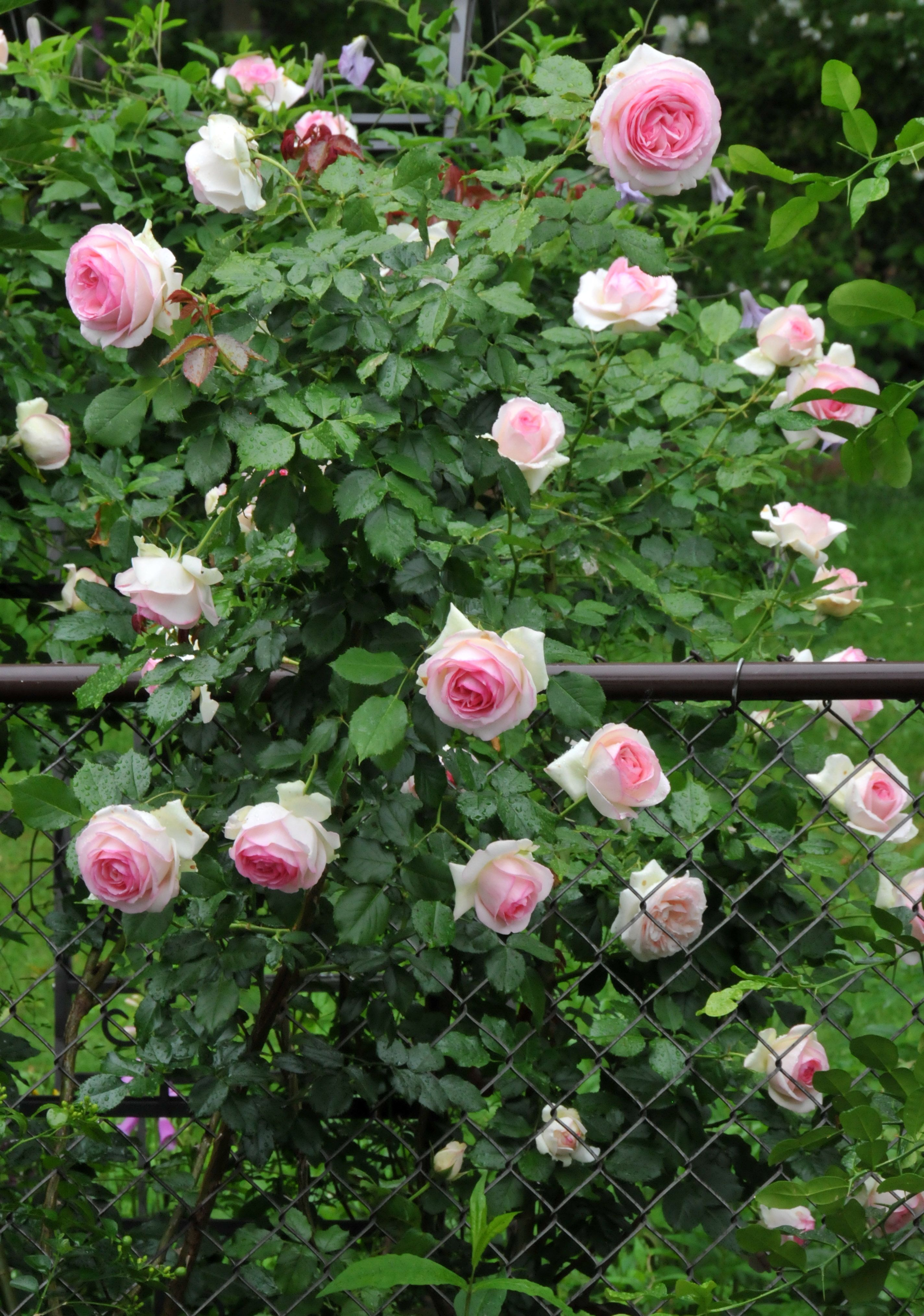 Roses In Garden: Rosa Heritage - Google Search