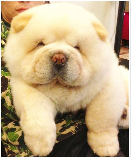 Chow Chow Club Pets And Animals Baby Dogs Cute Dogs Cute