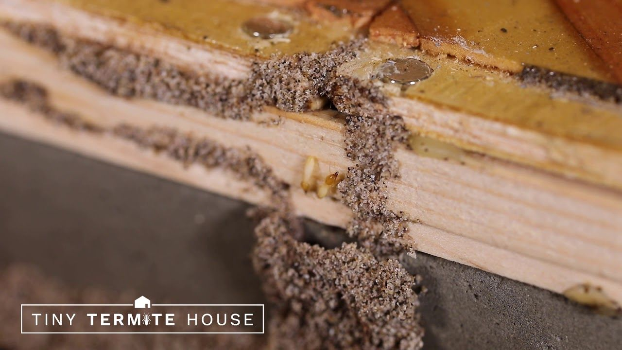 Breaking News It S Time For Another Tiny Termite House Update We Are Seeing Extreme Intrusion Of Formosan Termi Termites Termite Control Pre Fab Tiny House