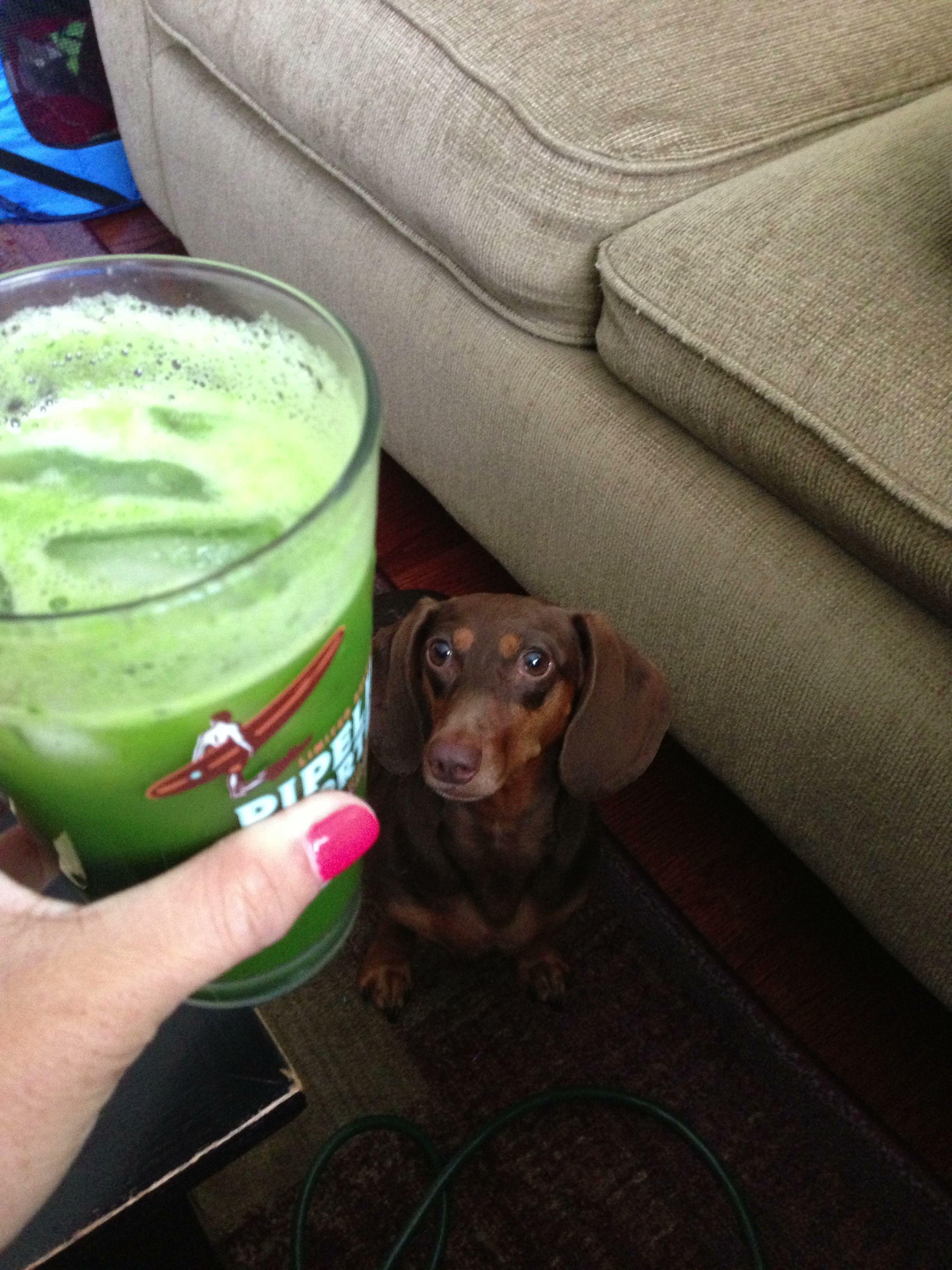 Dachshund Staring At Cake I Mean Green Juice Dachshund Love