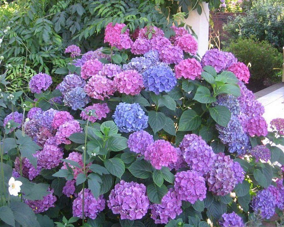 La hortensia mucho m s que una bella planta ornamental plantas red facilisimo jardiner a - Como cuidar las hortensias en maceta ...