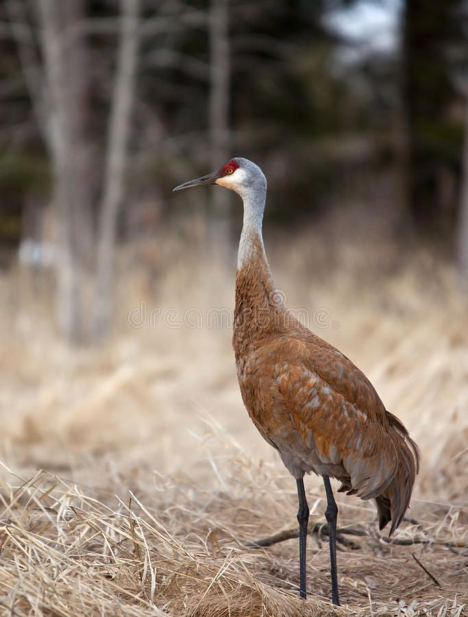 Sandhill crane A sandhill crane in the early spring