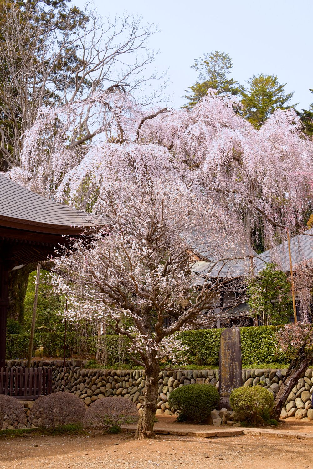 Spring With A Cherry Tree Cherry Tree Spring Scenery Japanese Garden