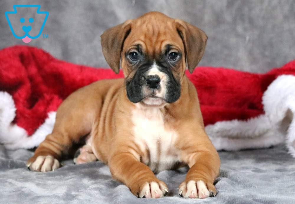 Santos Boxer Puppies For Sale Boxer Puppies Puppies For Sale