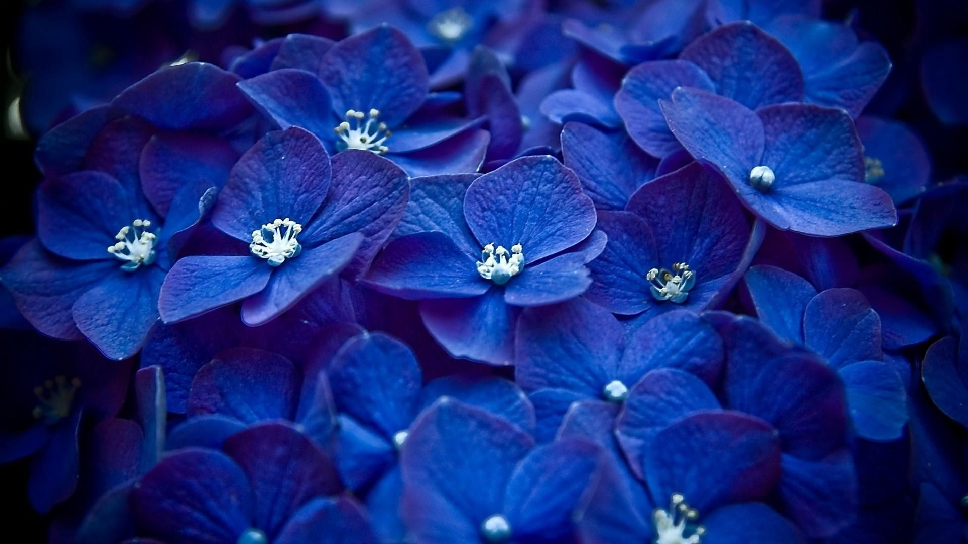 blue hydrangea flowers hydrangea hd wallpapers download