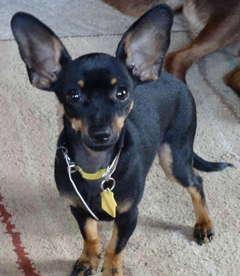 Small Dog Breeds With Big Pointy Ears
