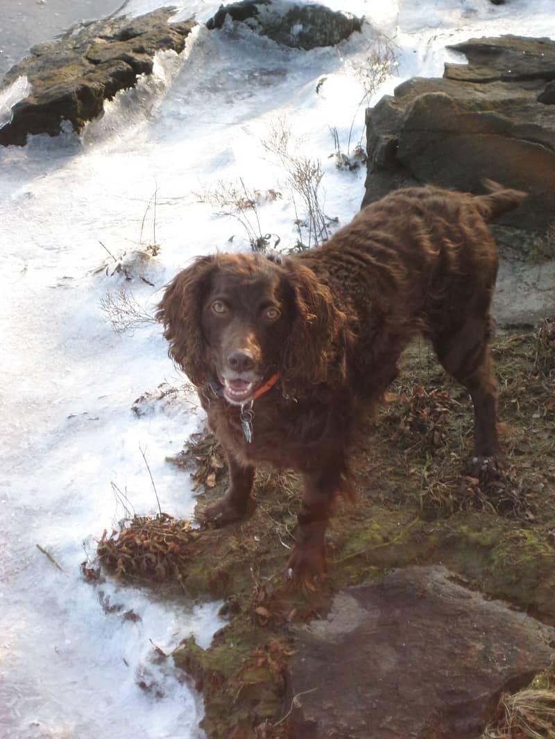 Boykin Spaniel The State Dog of South Carolina (With
