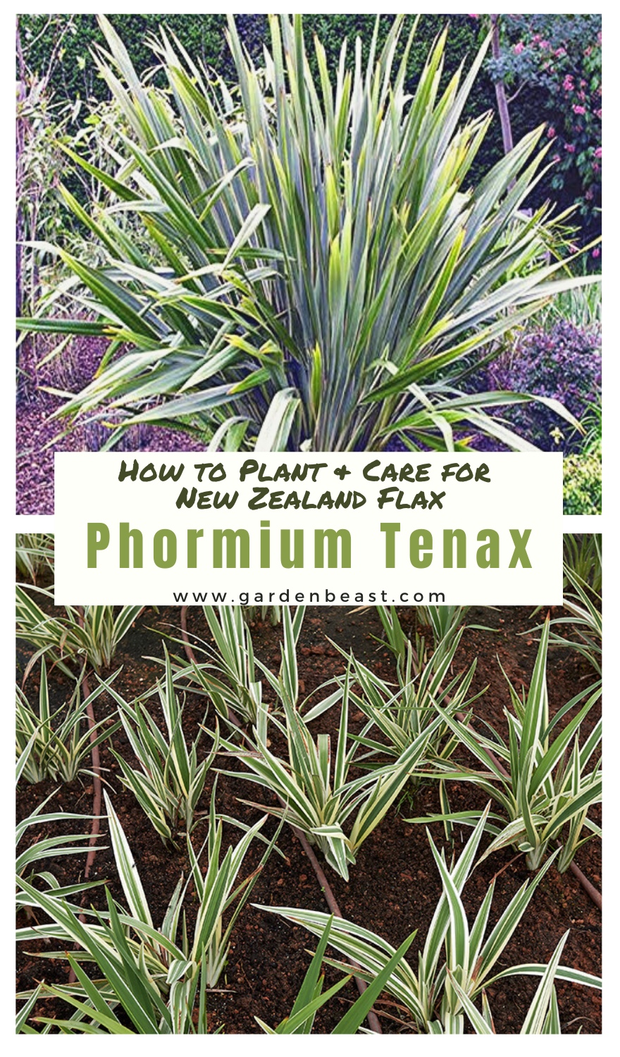 Complete Guide to Phormium Tenax: How to Plant & Care for ...