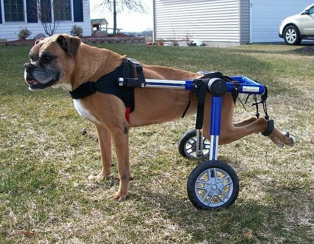 Dog Wheelchair - Boxer can Walk and ...