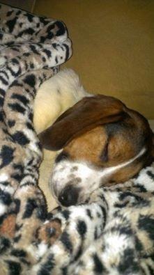 Adopt Mason on Beagle, Terrier hund und Hunde
