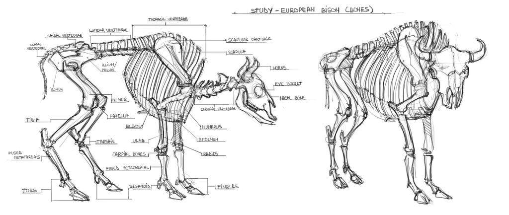 Bison Skeleton Diagram Leg Download Wiring Diagrams