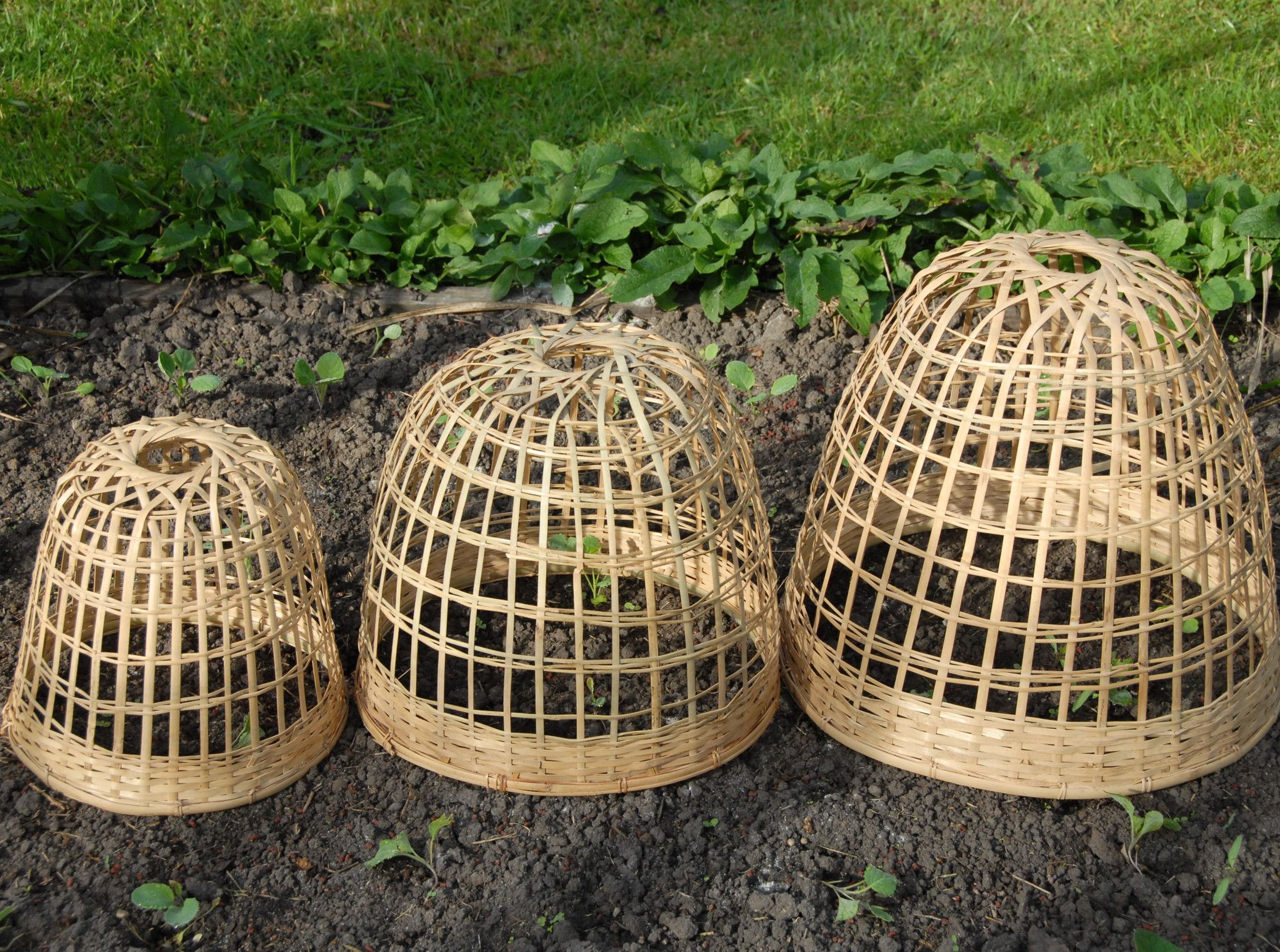 Bamboo Plant Cloche | Bamboo plants, Plants and Gardens