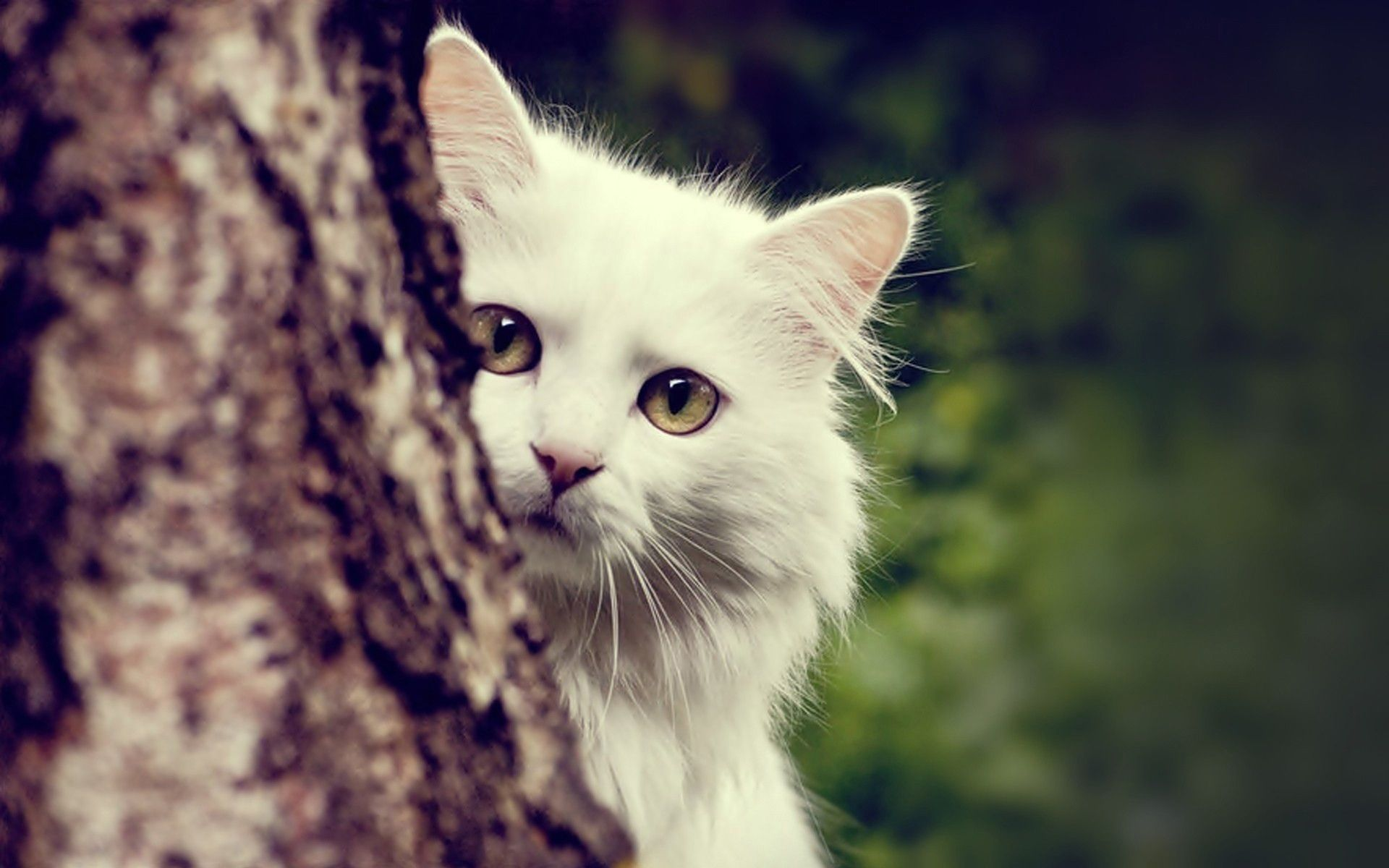 white cat wallpapers - wallpaper cave | adorable wallpapers
