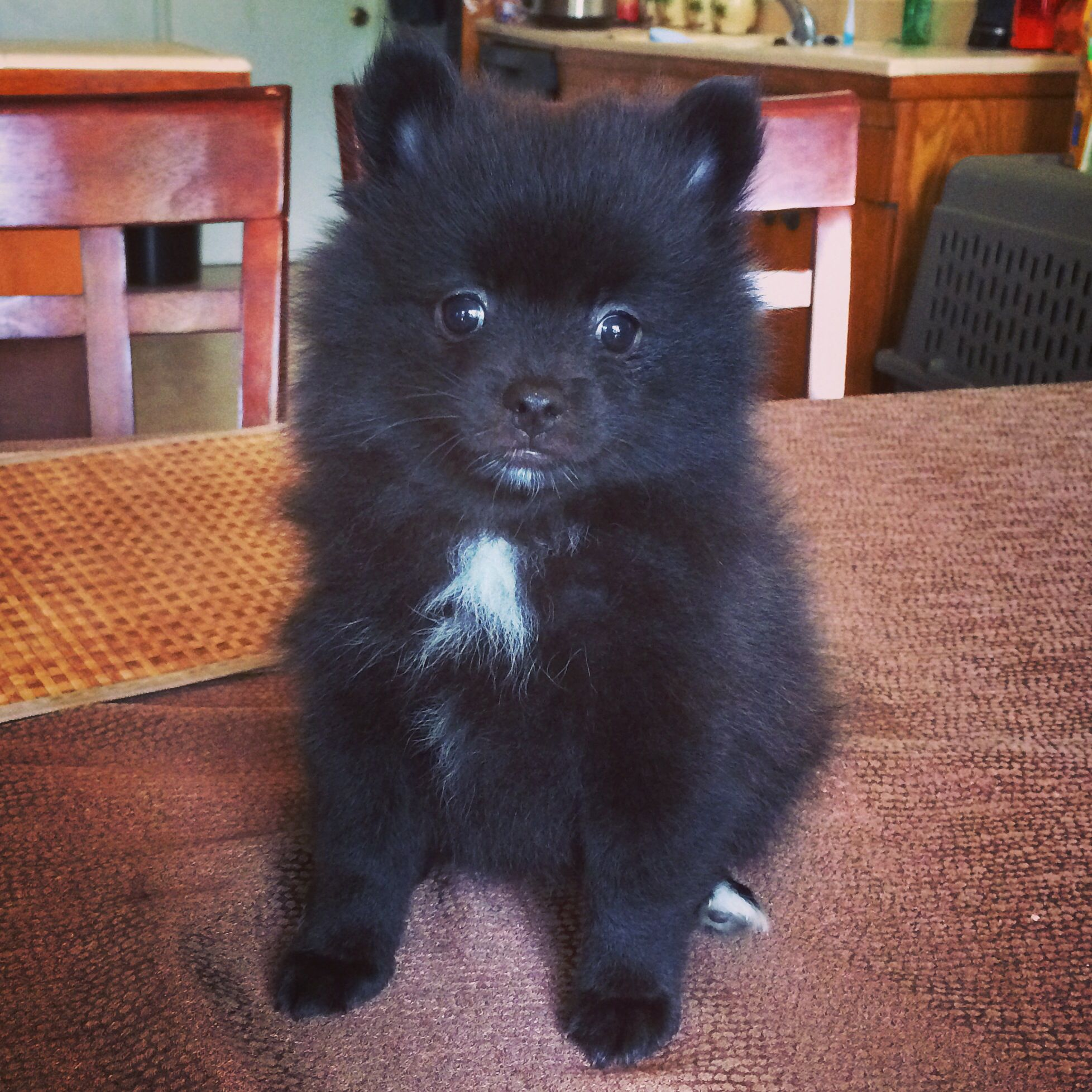 7 Week Old Black And White Tuxedo Male Pomeranian Puppy Dog Behavior Pomeranian Puppy Pomeranian Dog