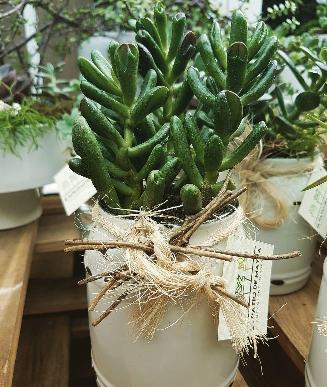 37 Me Gusta 3 Comentarios El Patio De Mayra Elpatiodemayra En Instagram Disponible Las Plantas Son Un Detallito Succulents Planting Succulents Plants