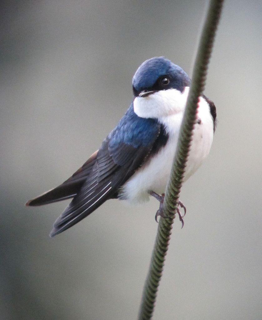 The White Swallow 104