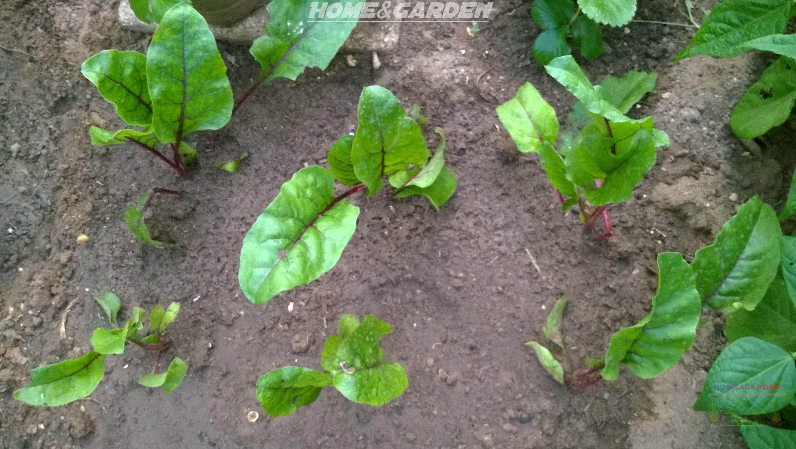 Home And Garden How To Start Beet Indoors Growing Plants Indoors Organic Vegetable Garden Growing Vegetables
