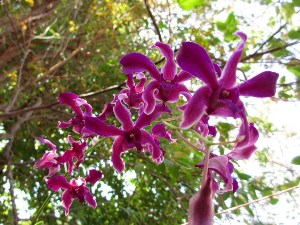Especie Dendrobium   Info: Sandy@mayanorchids.com  www.Mayanorchids.com