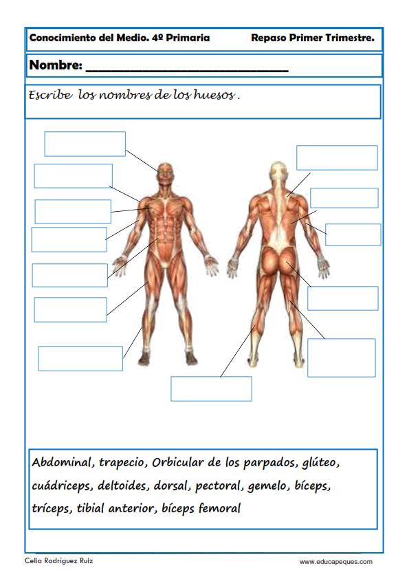 Fichas Conocimiento del Medio Cuarto de Primaria | musculos de ...