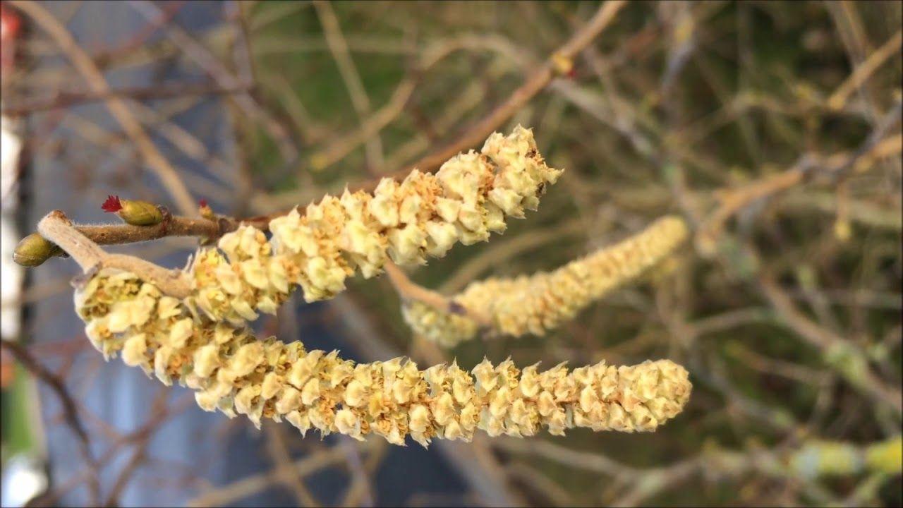 Common Hazel (Corylus avellana) - male catkins close up - January ...