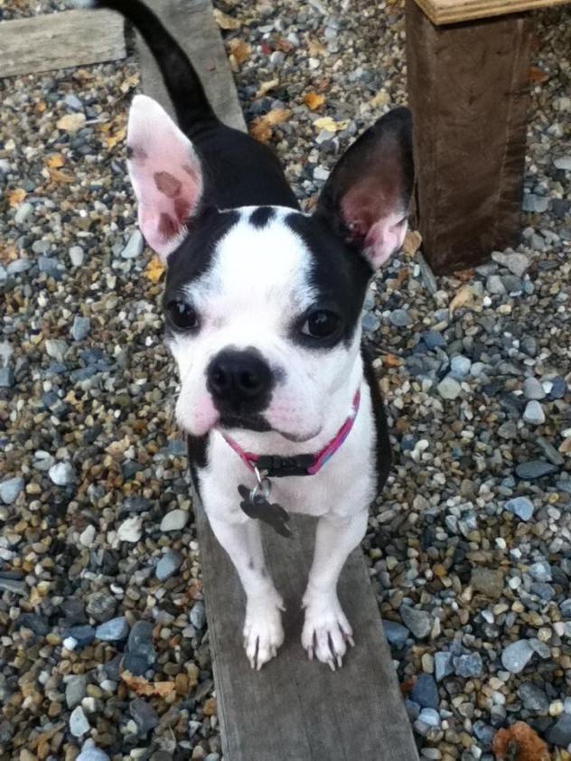Adopt Maida on Petfinder Chihuahua, French bulldog mix