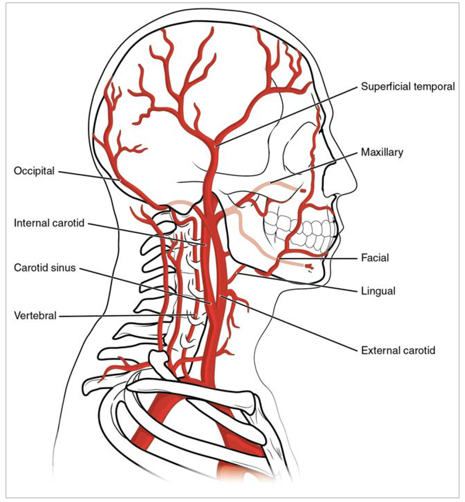 Reading Systemic Arterial System Submodule 23 Cardiovascular