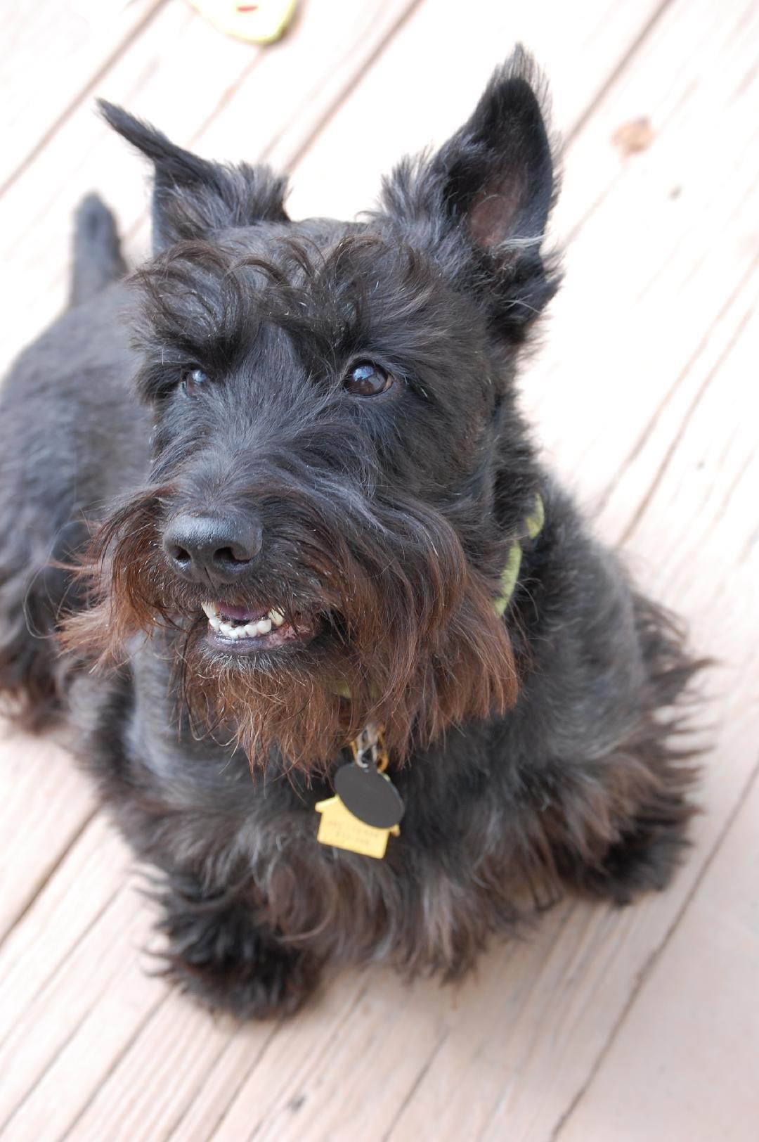 Adopt Mactavish On Petfinder Scottie Dog Small Pets Scottish Terrier