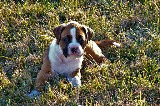 Boxer puppy for sale in OZARK, MO. ADN26518 on
