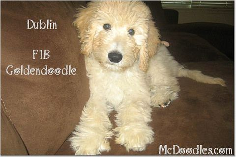 We want one! Golden doodle. They r so adorable